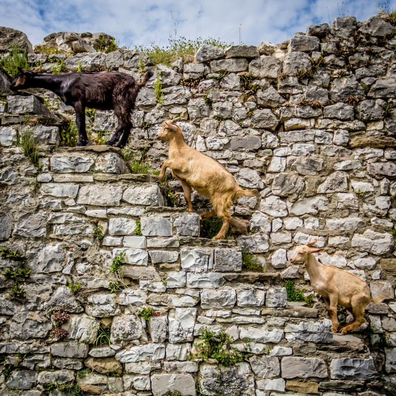 Goats on stairs